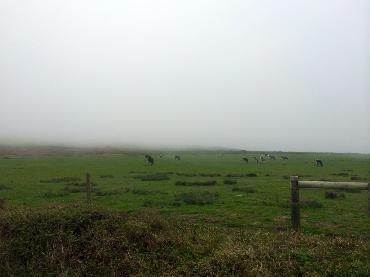 cows-in-the-fog