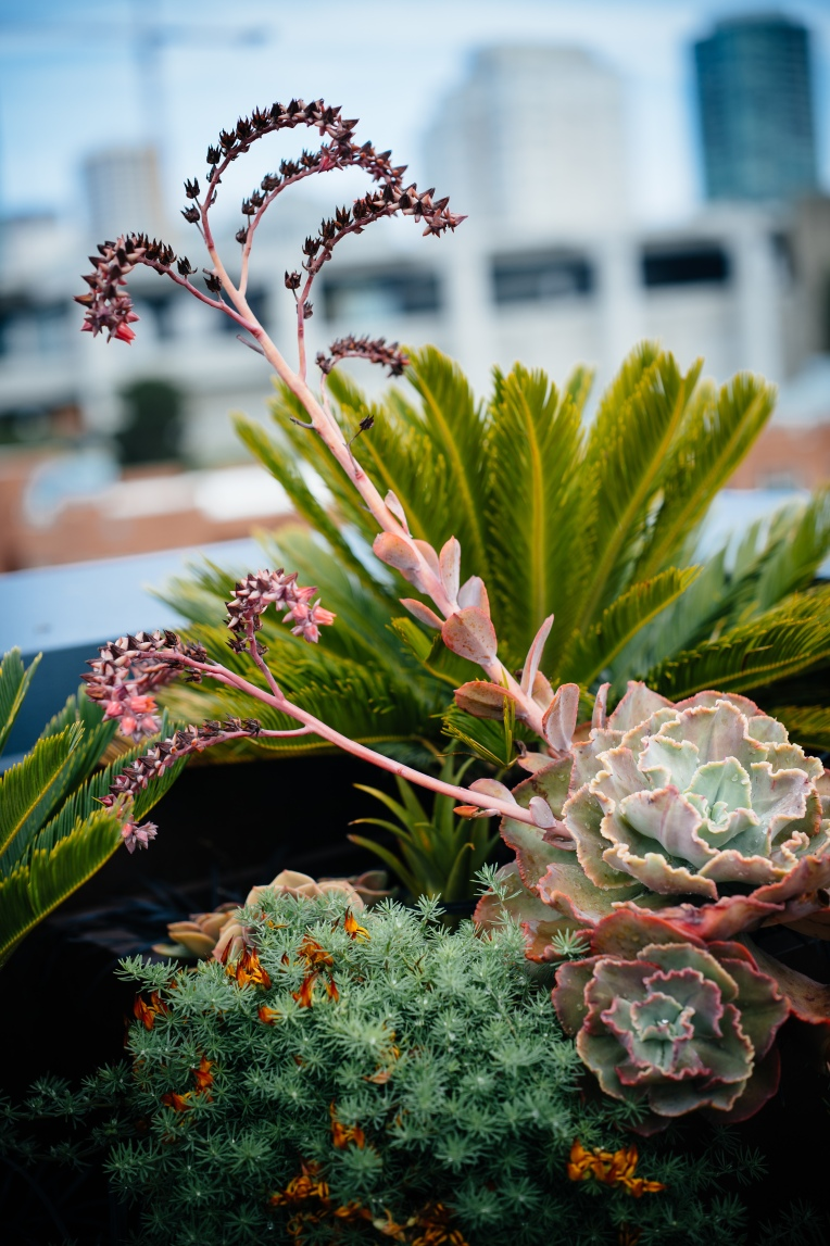 otus-variation-11-sago-palm-echeveria-succulent-and-lotus-berthelotii-parrots-beak